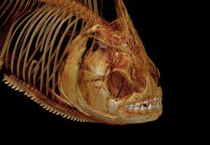 3D модель рыбы