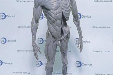 Анатомическая модель человека, напечатанная на 3D принтере