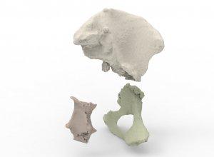 3D моделирование костей таза